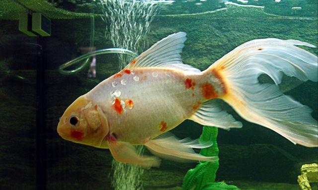 Japan koi teichfische von professionellen z chtern for Teichfische shubunkin